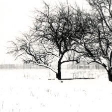 Shimniok homestead, apple trees, BAAP, 2000
